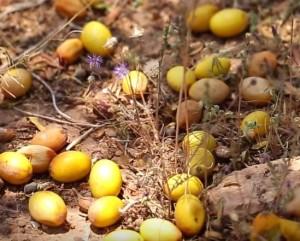 arganolja frukter