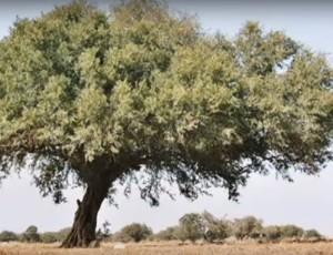 arganträdet