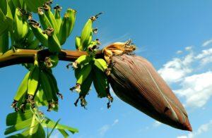 Bananplantan är en slags ört