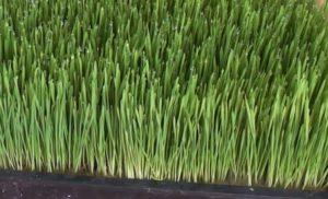 odla vetegräs